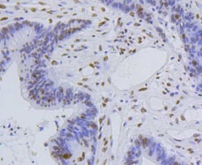 HistoneH4 Rabbit anti-Human, Clone: SR31-07, Novus Biologicals 100µL